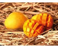 Alphonso Mango Farms In Devgad India | Vecov