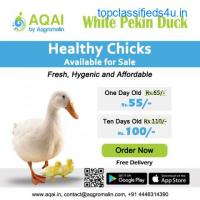 White pekin Ducks | Duck farming |Ducks - Aqai