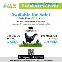 Kadaknath Chicken | Kadaknath Chicks