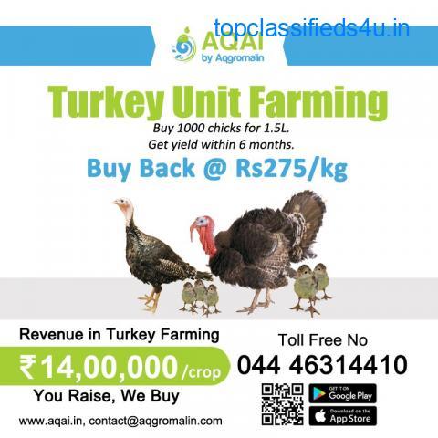 Turkey Chicks   Turkey Poults   Turkey - Aqai